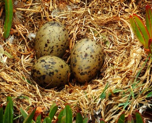 Зародыши птенцов общаются друг с другом через скорлупу яиц 5