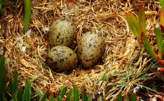 Зародыши птенцов общаются друг с другом через скорлупу яиц 10