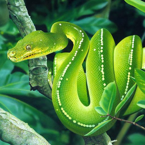 Зеленый питон (лат. Morelia viridis) 21