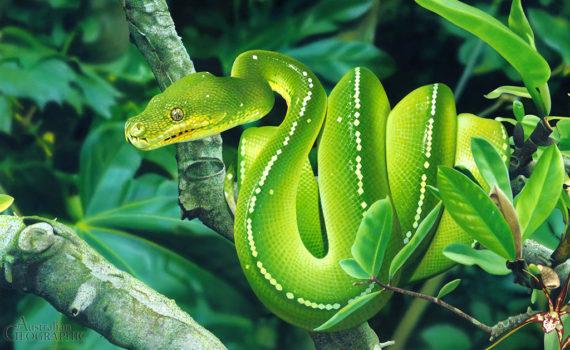 Зеленый питон (лат. Morelia viridis) 2
