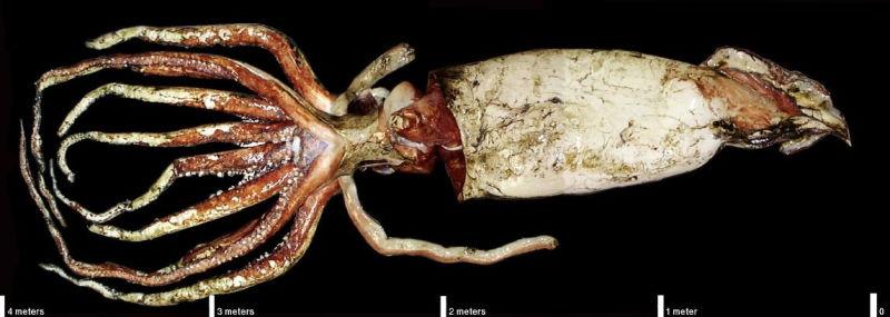 Расшифрован геном гигантского кальмара: новые загадки 2