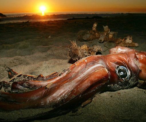 Расшифрован геном гигантского кальмара: новые загадки 8