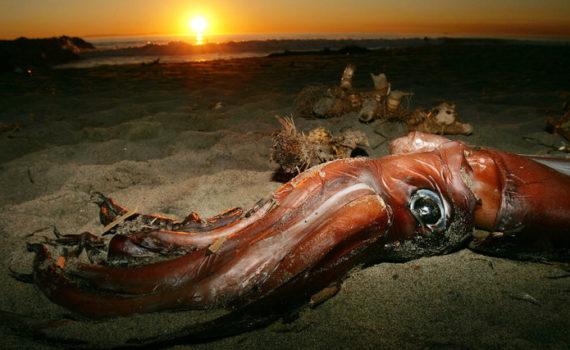 Расшифрован геном гигантского кальмара: новые загадки 7